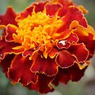 Marigold by Jan  Tribe