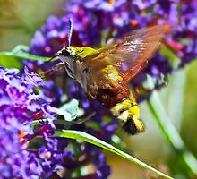 Bumble bee humming bird moth by Thomas Gelder