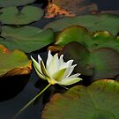 Water Lily by julie08