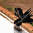 Thirsty Black Black Cockatoos @ Derby WA by Mark Ingram