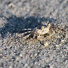 Ghost Crab by goldnzrule