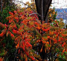 Canadian Autumn Sumac by Rosemary Sobiera