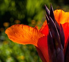 Blazing orange by Celeste Mookherjee
