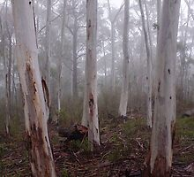 Tree trunks in the fog Sinclair's Gully Winery, Norton Summit by Harvey Schiller
