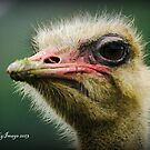 Ostrich  #1 by bekyimage