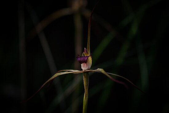 Wine Lipped Spider Orchid (Arachnorchis oenochila) by Rosie Appleton