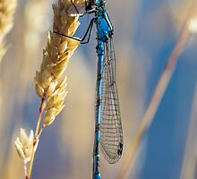 Common Blue Damselfly by Heidi Stewart