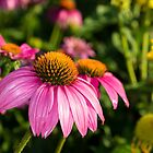 Coneflowers 5 by Photopa