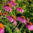 Coneflowers 7 by Photopa