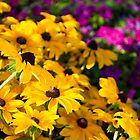 Yellow Conflowers by Photopa