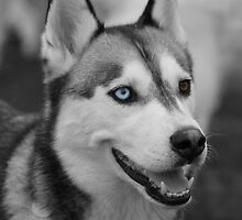 Husky Portrait by Vicki Spindler (VHS Photography)
