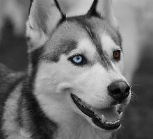 Husky Portrait by Vicki Spindler (VHS Photography)