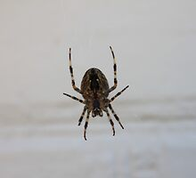 Spider  by karencadmanfoto