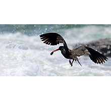 pied oystercatcher (with a pippy ) Photographic Print