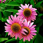 Triple Delight Gerbera Daisies by Carol Clifford