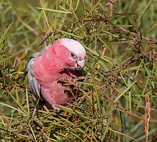 Pink and Grey Galah (Eolophus roseicapillus) by Michaela Newman