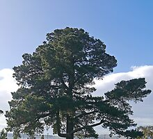 Tree, Sandy Bay, Tasmania by Margaret  Hyde