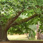 Elder Oak in the Park by Thomas Stayner