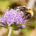 Bumble Bee on Devil's-bit Scabious by David Barnes