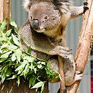 Koala by Steven Ralser