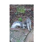 Grey Squirrel in the woods by Matt Molleur