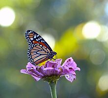 Monarch Butterfly by Susan S. Kline