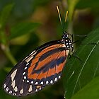 Isabella Tiger Butterfly by JMChown