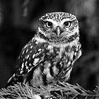 Little Owl by ChrisMillsPhoto
