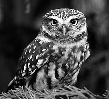 Little Owl by ChrisMillsPhoto