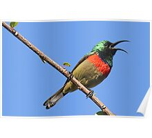 A Southern Double Collared Sunbird Poster