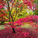 Japanese Maple (Acer Palmatum) at Westonbirt Arboretum, Gloucestershire, UK by Andrew Harker