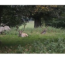 Two Stags (Dinefwr Deer Park) Photographic Print