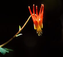 Columbine by Steven Ralser