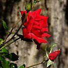 Last Roses of The Season by Loree McComb