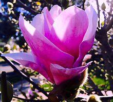 Magnolia Bloom by Zoe H