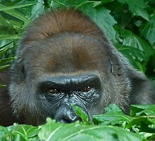 Watchful Gorilla by Margaret Saheed