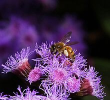 Busy Australian Bee Collecting Pollen by Margaret Saheed