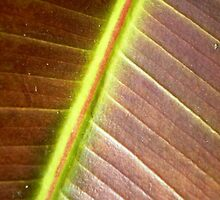 Rubber Tree Leaf by EdsMum