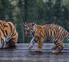 Tiger Cub in the Rain by batousan
