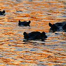 A hippo sunset! by jozi1