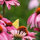 Cone Flowers by Dennis Cheeseman