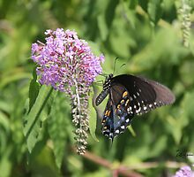 Black Swallowtail by EricaMaxine