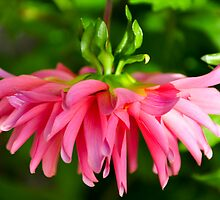 Hanging Pink Dahlia by Orla Cahill Photography