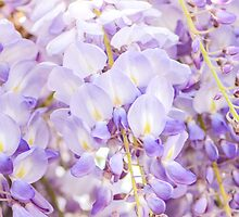 Wisteria 2 by Alison Hill