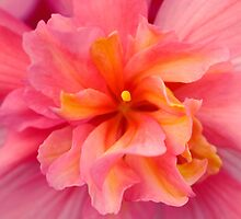Pink Begonia centre by mooksool