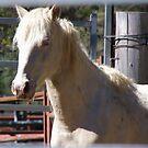 The White Stallion by Liz Worth