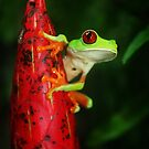 Red-eyed Treefrog by Robbie Labanowski