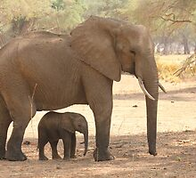 Elephant calf framed by her mother by Michelle Sole