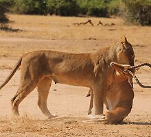 Lioness kills impala by Michelle Sole