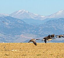 Flying Canadian Geese Rocky Mountains Panorama 2 by Bo Insogna